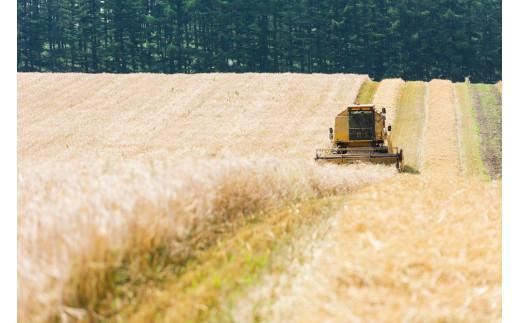 大麦収穫風景