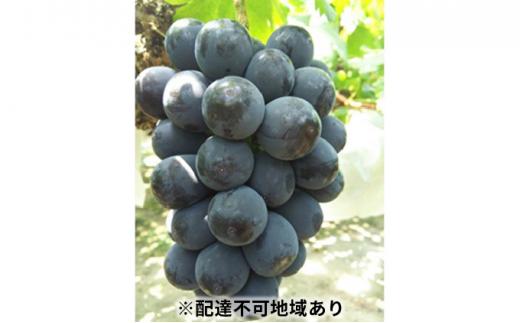 [№5765-0460]赤磐市赤坂産 大粒・大房 ピオーネ1房(650g~)