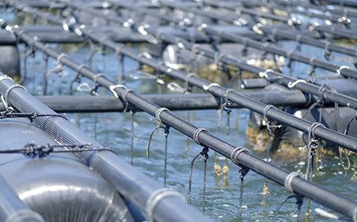 1本1本の紐の先にたくさんの牡蠣が吊るされています