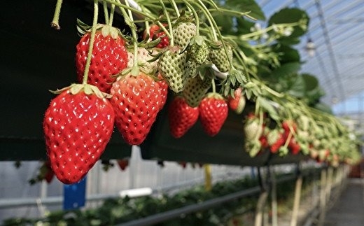 「元気ファーム」は福祉農園。イチゴを食べることで就労支援につながります☆