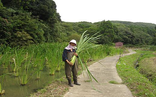 真菰(まこも)を収穫する『ゆり庵株式会社』の成田さん。