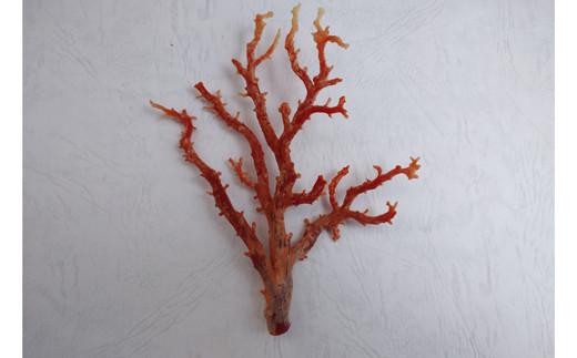 深海の秘宝:珊瑚の原木02
