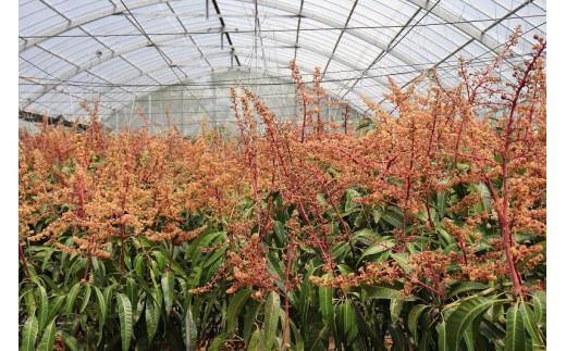 ※マンゴーの花。3月頃、色鮮やかなオレンジとピンク色の花を咲かせます。