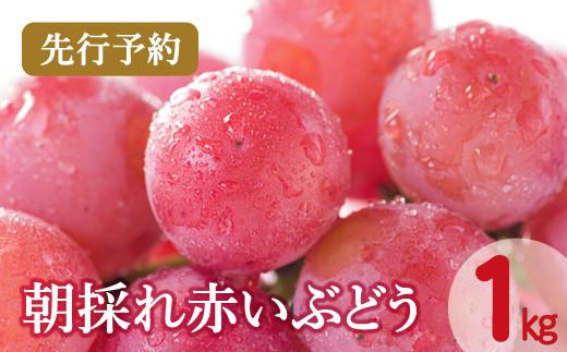 A-379 【先行予約】朝採れ赤いぶどう 1kg(2021年7月より発送)
