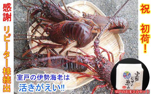【漁師直送!】天然伊勢海老500g