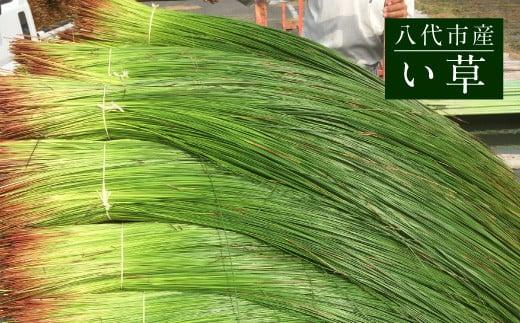 くまモン寝ゴザ 1枚 八代産 い草 使用 3色 選べるカラーバリエーション