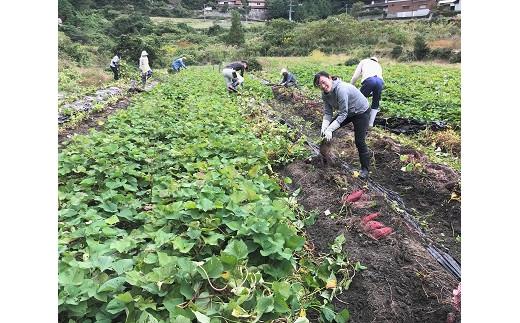 三好野呂内野菜生産加工組合(あいくるしぃYUM-YUM)の芋掘り風景