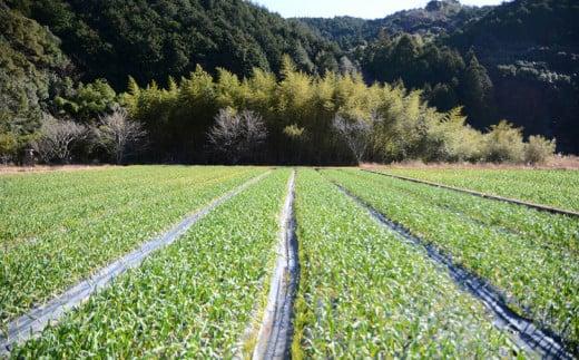 ニンニクは全て高知県須崎市の自社農園で生産しており、有機JAS認定のオーガニック栽培にて生産しています。