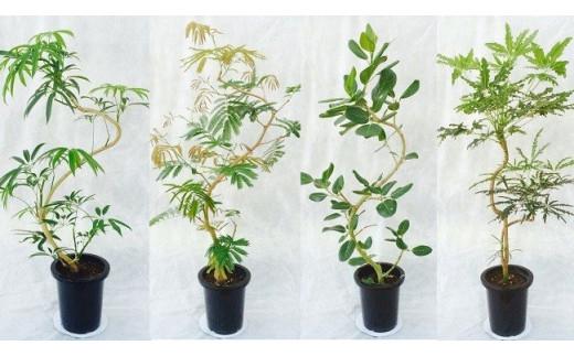 [№5672-0364]プロが選ぶ観葉植物~曲りシリーズ 8号鉢