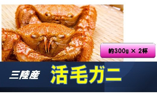 2021年1月より発送 三陸産 毛ガニ (生)約300g×2杯 初栄丸
