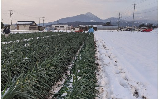 MS-27 (訳あり)大雪で葉先が折れてしまった大山町産白ねぎ4kg詰め合わせ