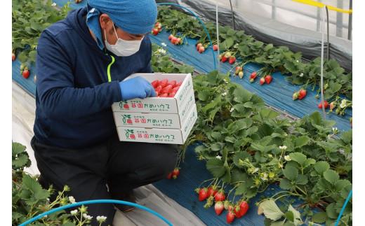 よく熟れたいちごを発送する日に収穫します