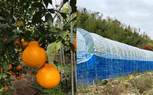 【家庭用】不知火 5kg(18玉~24玉)ハウス栽培 津志田果樹園 果物