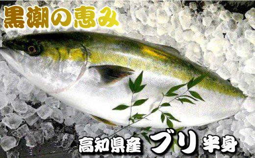 【期間限定!】黒潮の恵み 高知県産ブリ!! 半身セット