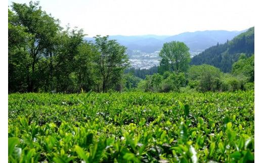 摘採間近の紅茶農園