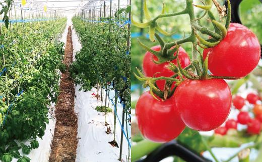 八代市産 宮島農園 おまかせ トマト 4種 3kg