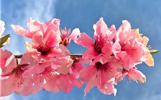 山梨フルーツラインでは安心して食べて頂ける美味しい桃を生産するために様々な工夫をしています。