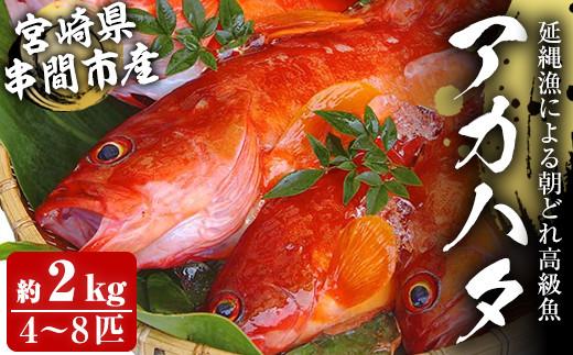 KU015<先行予約受付中!2021年7月中旬から発送開始>宮崎県串間産アカハタ(計約2kg・4~8匹)延縄漁による朝どれ高級魚を漁師直送!【豊漁丸】