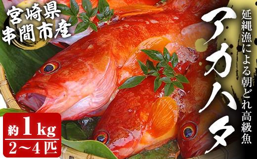 KU014<先行予約受付中!2021年7月中旬から発送開始>宮崎県串間産アカハタ(計約1kg・2~4匹)延縄漁による朝どれ高級魚を漁師直送!【豊漁丸】