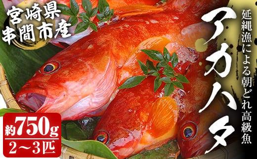KU013<先行予約受付中!2021年7月中旬から発送開始>宮崎県串間産アカハタ(計約750g・2~3匹)延縄漁による朝どれ高級魚を漁師直送!【豊漁丸】