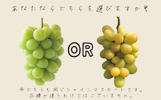 おそらく、左のきれいな緑色のシャインマスカットを選びたくなりますよね?だって十分美味しいのを知ってますから。