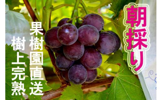 BQ-030 果樹園直送/朝採り/ぶどう「藤稔(ふじみのり)」1.5kg