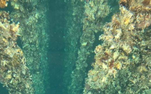 寺本水産の牡蠣は、奈佐美瀬戸の強烈な潮の流れの中でたくましく成長。