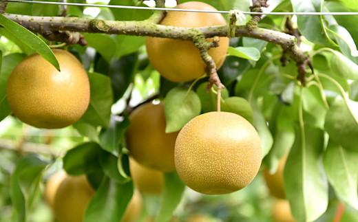 梨 豊水 (ほうすい) 4㎏ 7~12玉 人吉球磨産