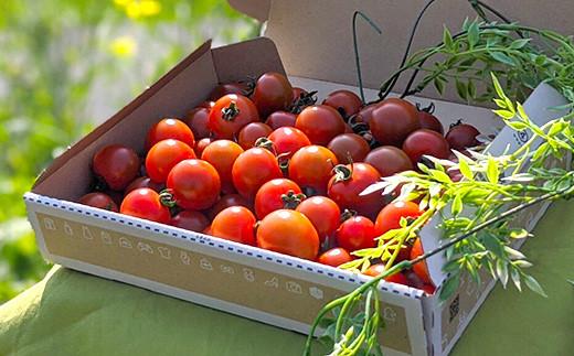 【先行受付】【2021年12月以降発送】 野菜 ソムリエ岡田健志郎が育てた ミニトマト 3kg 3回発送 定期便