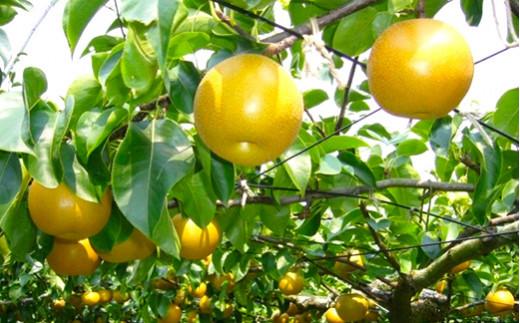 【先行予約】【定期便】 梨 3種3カ月 定期便 秋月梨 秋麗梨 新高梨 果物 フルーツ