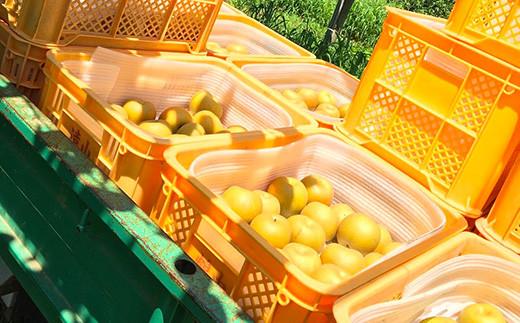 【先行予約】【8月頃発送予定】 秋月梨 5kg前後(10~14玉) 梨 果物 フルーツ