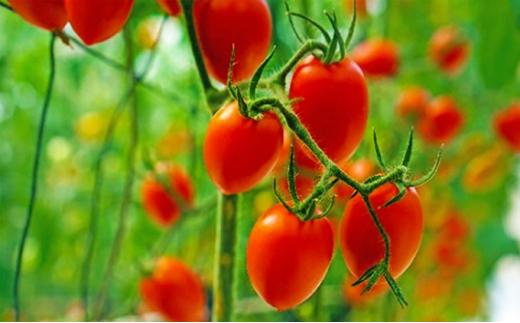 [№5850-0749]トマト嫌いが作ったあま~いミニトマト『とまこひめ』約1kg  冷蔵便