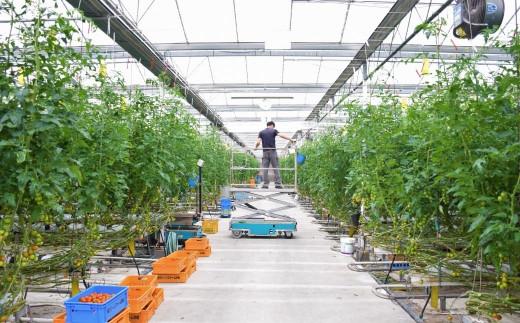 過疎化が進む島の状況を危惧し、江田島の未来を考えて始めたトマト栽培。今では大きな農園に。