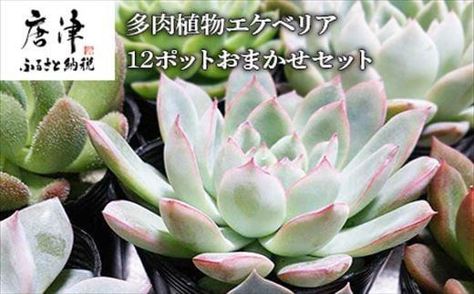 多肉植物エケベリア12ポット おまかせセット アソート 観葉植物 癒し