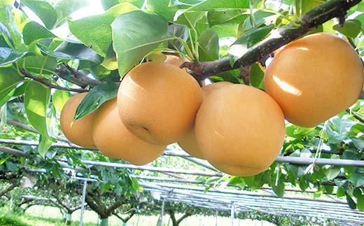 【予約受付開始】おいしいジューシー旬の味!門脇農園の梨【あきづき】