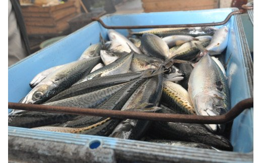 漁港直送の鮮度抜群の魚。 身は節に、卵巣・精巣はスーパーで販売。 それ以外の部位も肥料として活用されていて捨てる部分なし。