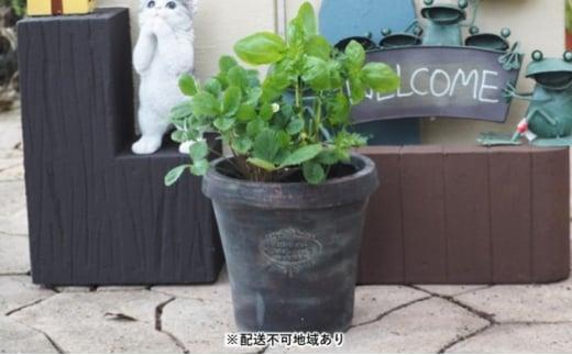 [№5656-1910]ハーブ 3種の寄せ植え(テラコッタ鉢 20cm)※配送不可:沖縄:離島