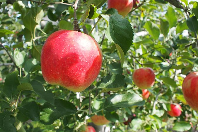 おいしくて良質なりんごが育つ条件とは?