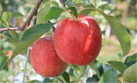 長野県 伊那市 のりんご