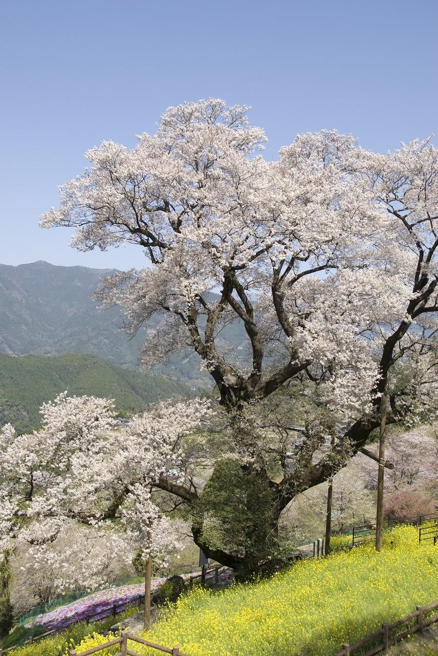 ひょうたん桜(仁淀川町・桜地区)