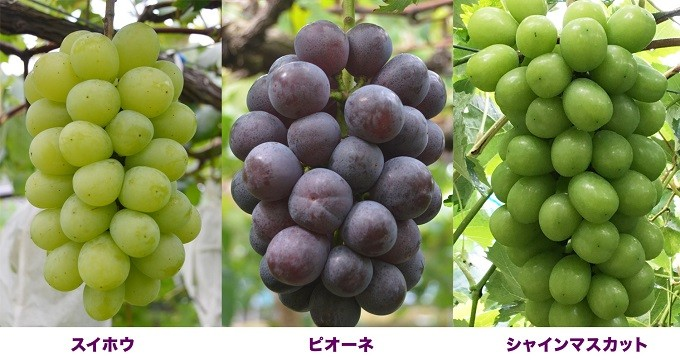 B5-0807/【9月初~中旬発送】鹿児島産ぶどう3種詰合せ