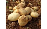 鹿児島県長島のミネラル栽培ジャガイモ