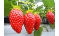 【2~3月お届け】朝採れ直送★ふくおか農園『こだわり苺』
