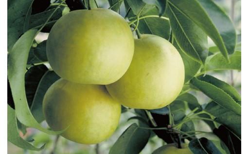 青梨の代表20世紀梨