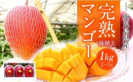 落果したその日に出荷!完熟鉢植えマンゴー1kg以上!