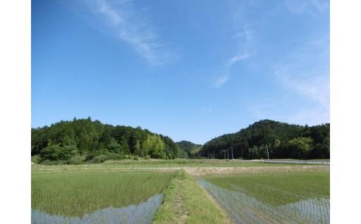 立梅用水の水で育てる三重の安心米、順調に育っています!