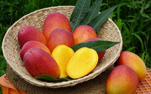 糖度抜群!鹿児島県大隅産の温泉マンゴーの収穫が始まりました♪