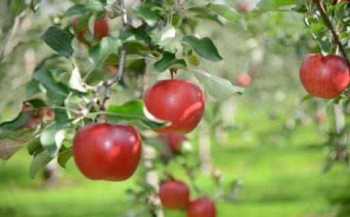 【数量限定】果樹王国ふかがわの美味しいりんご受付中!
