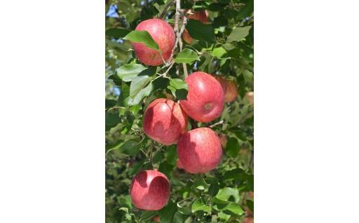 甘味・酸味・歯ごたえのバランスが良い品種「サンふじ」のりんご