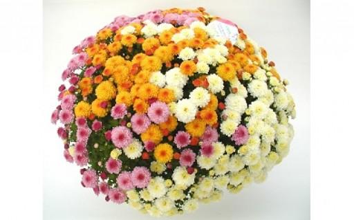 ガーデンマム ジジ3色 1000輪以上の花☆